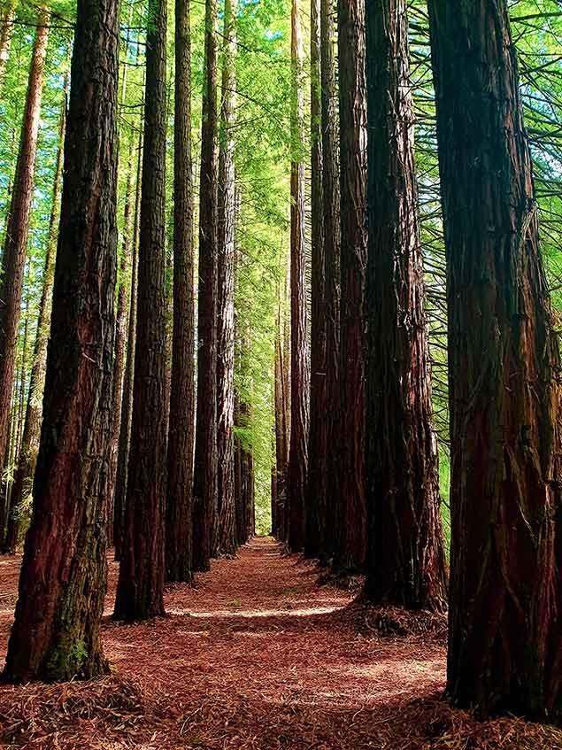 redwood trees in Warburton National Park